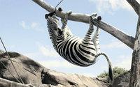 Зебра висит на ветке дерева
