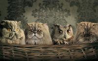 Сова мимикрирует под котов
