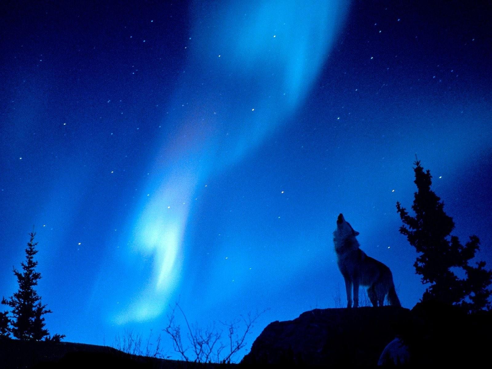 Волк воет на луну. Обои с животными, картинки, фото 1024x768