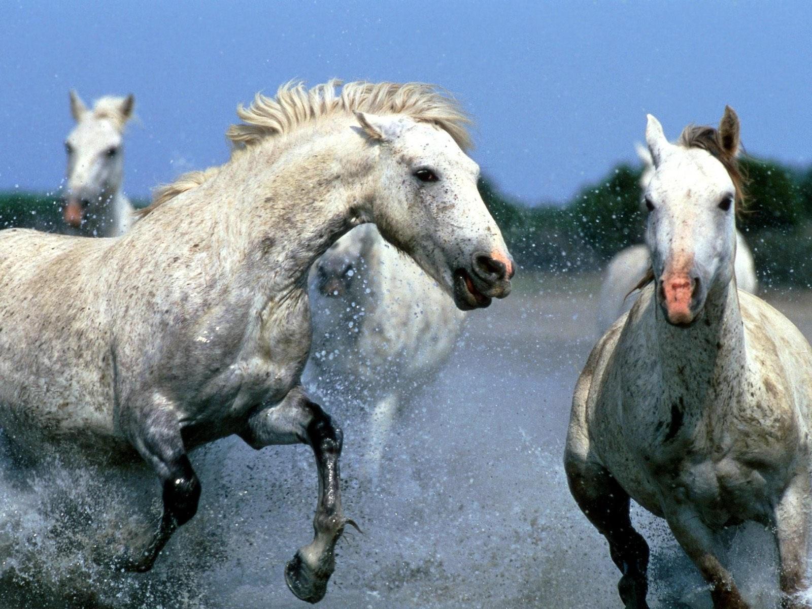 Стадо белых лошадей