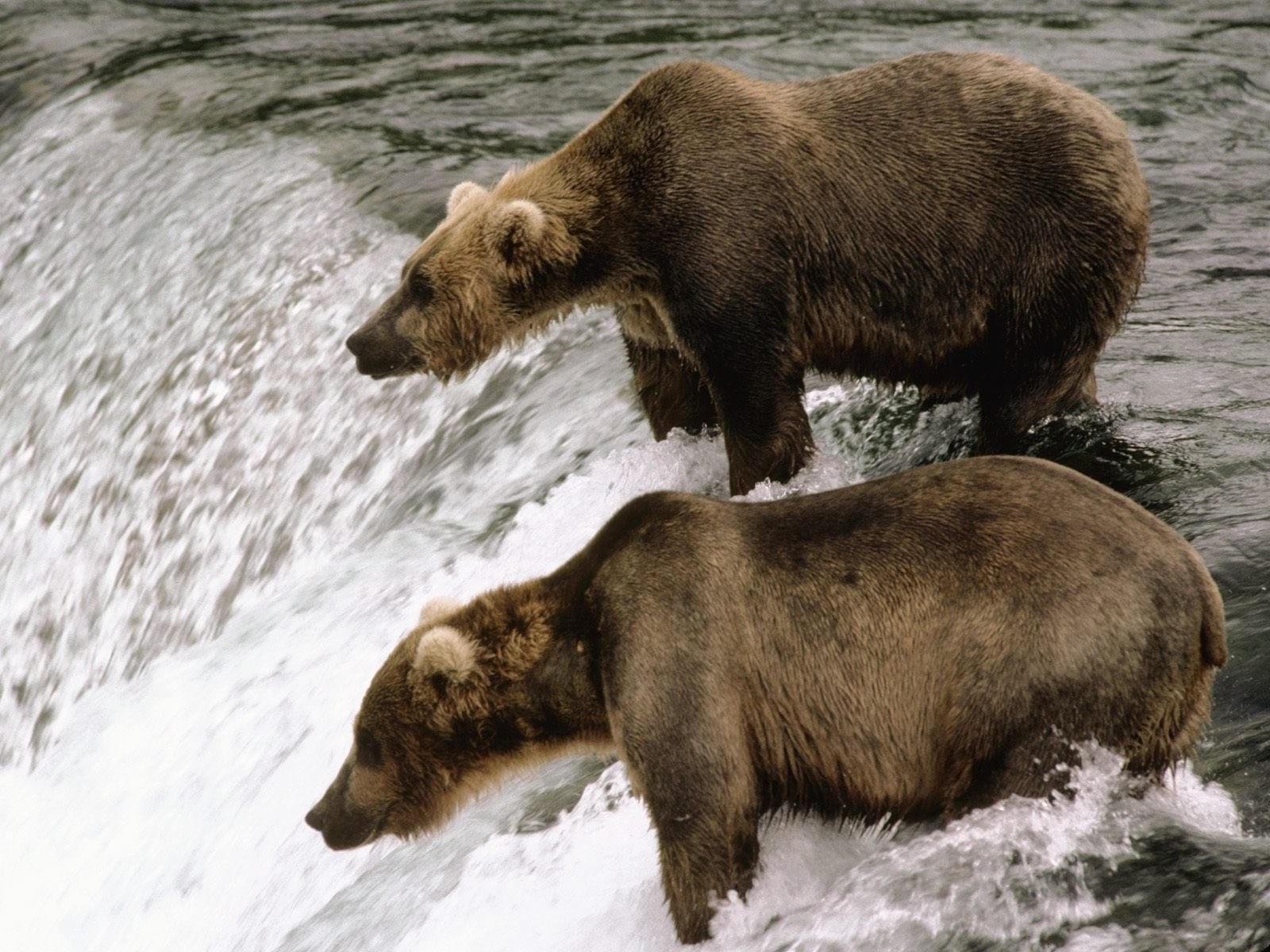 Два коричневых медведя у водопада
