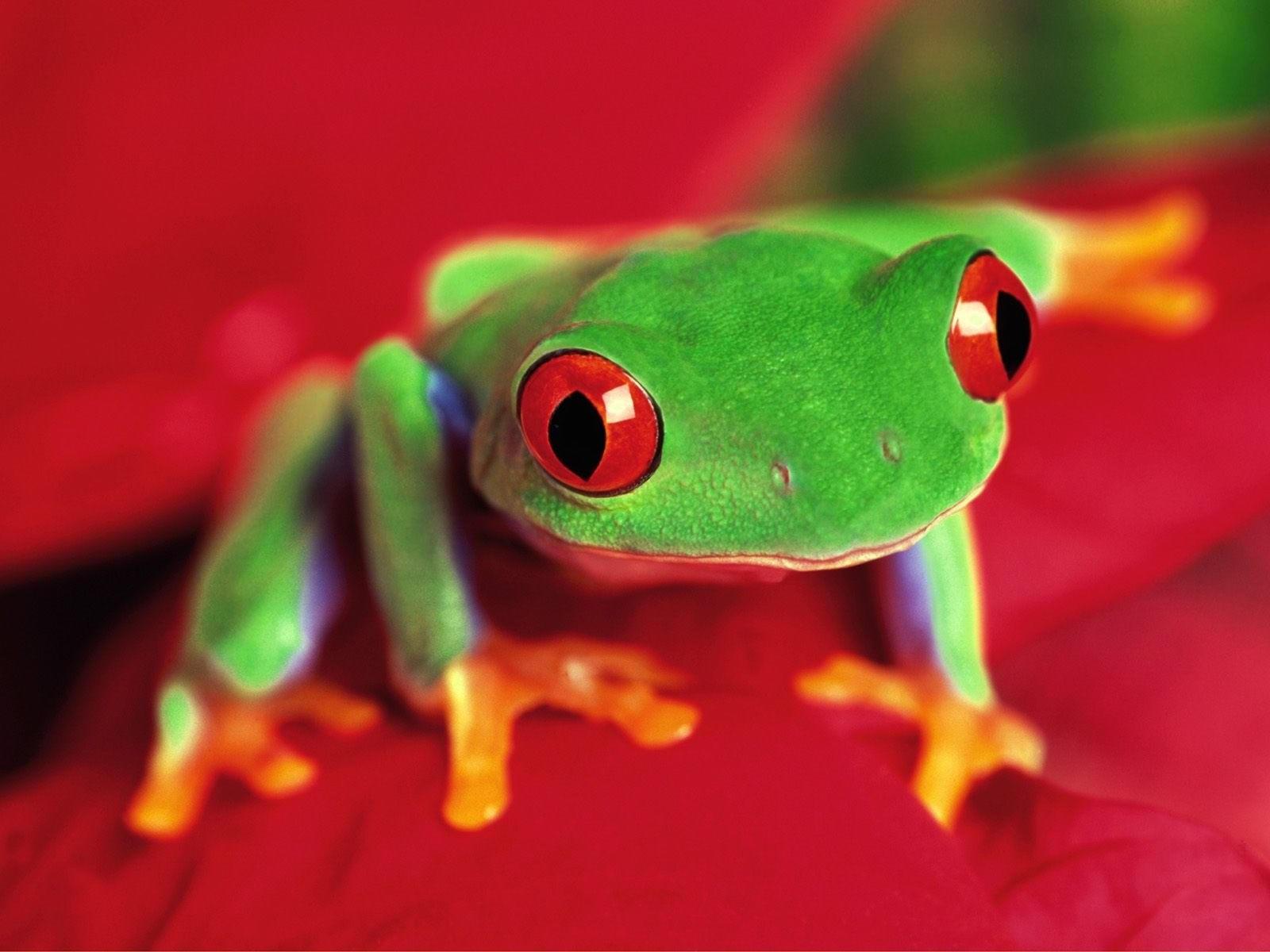Зеленая лягушка с красными глазами