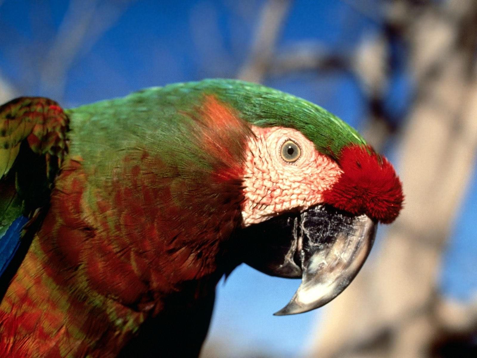 Попугай зелено-красного окраса