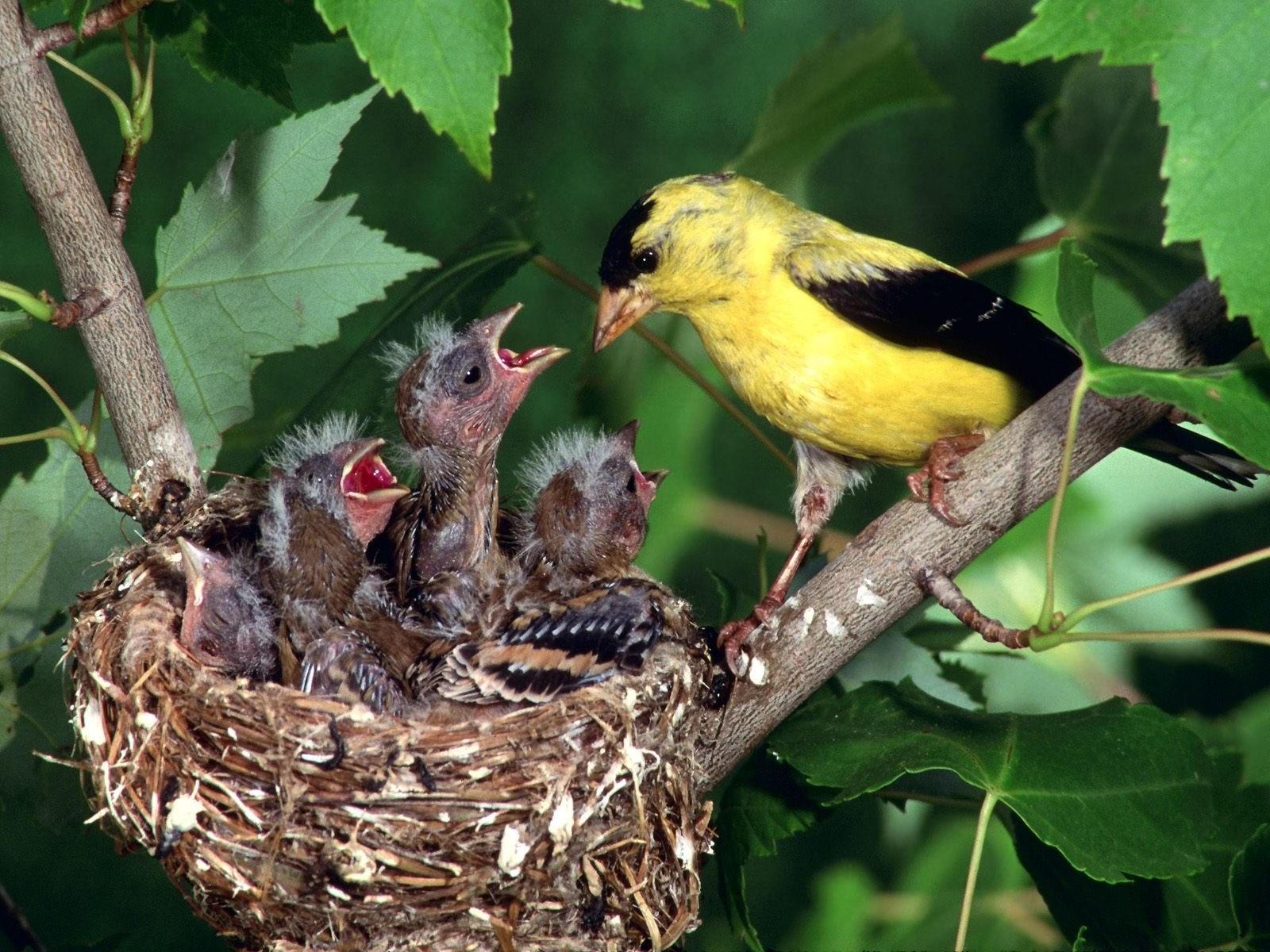 Желто-черная птичка кормит птенцов