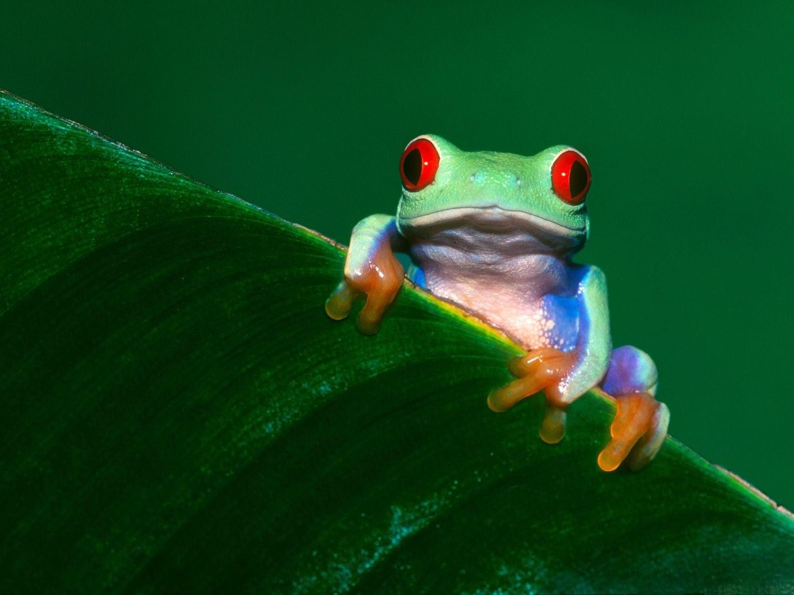 Зеленая лягушка на листке