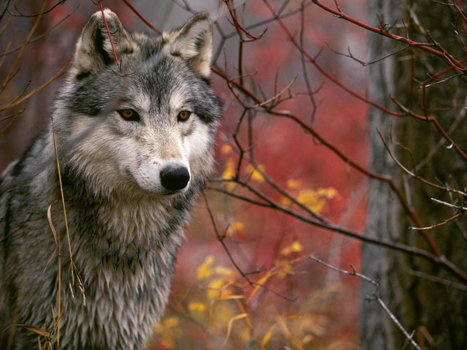 Внимательный волк