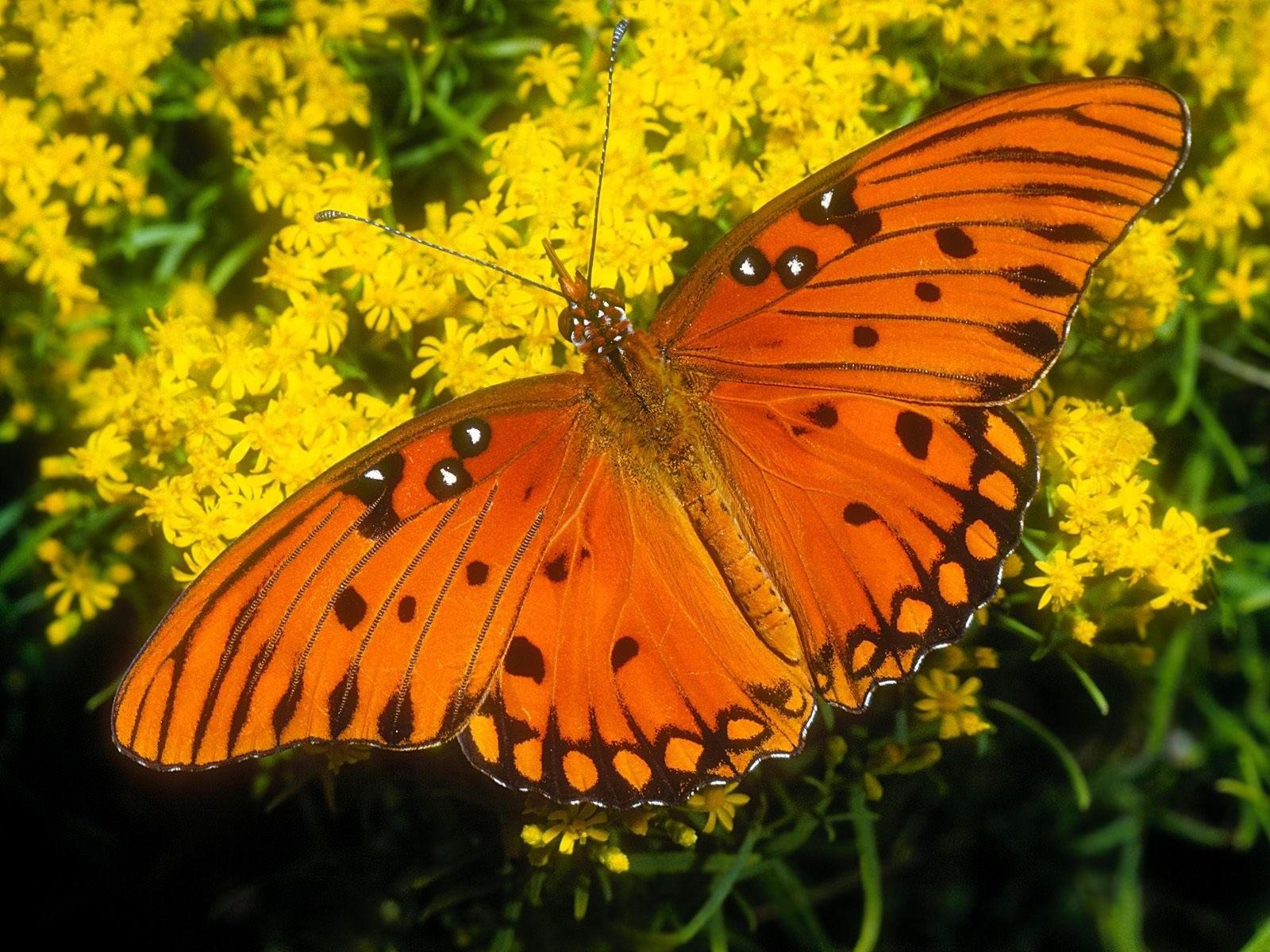 Бабочка оранжевого окраса на цветах