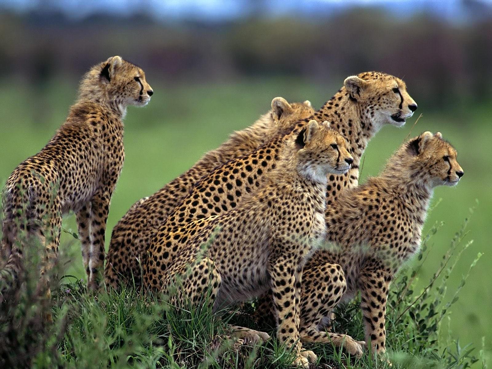 Пять гепардов