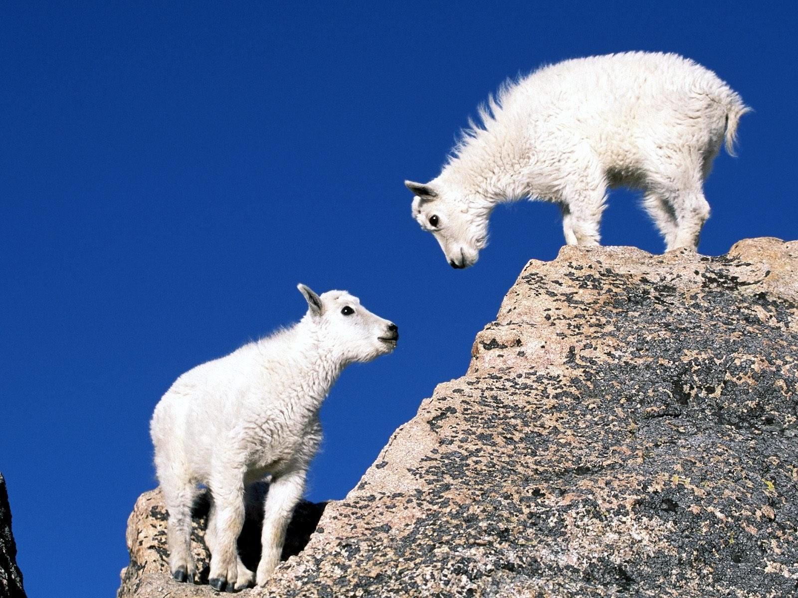 год козы обои на рабочий стол № 528529 загрузить