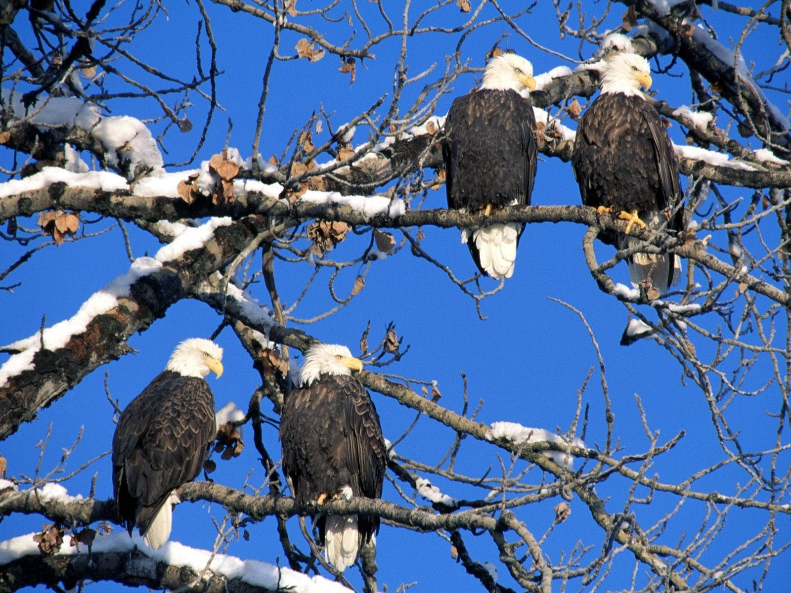 Четверо орланов на дереве