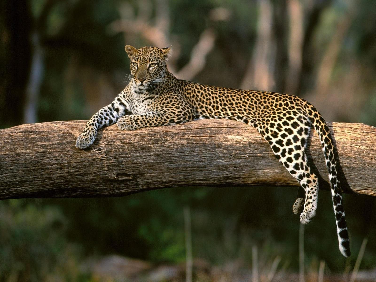 Леопард на дереве