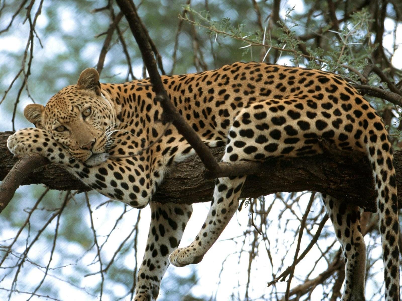 Леопард - мечтатель