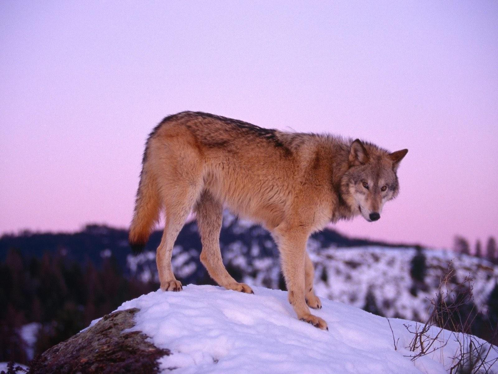 Одинокий волк на камне