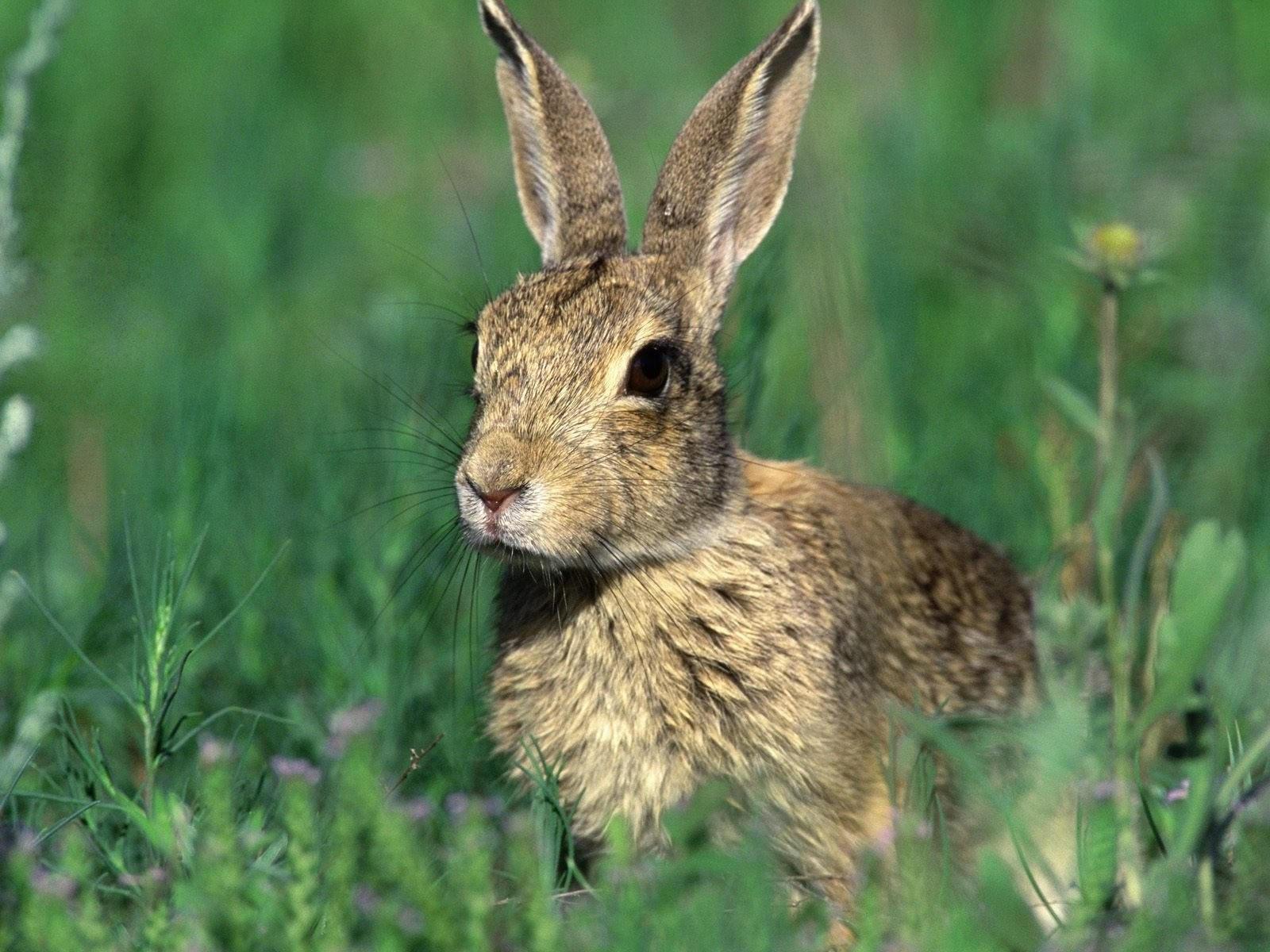 Серый заяц в траве
