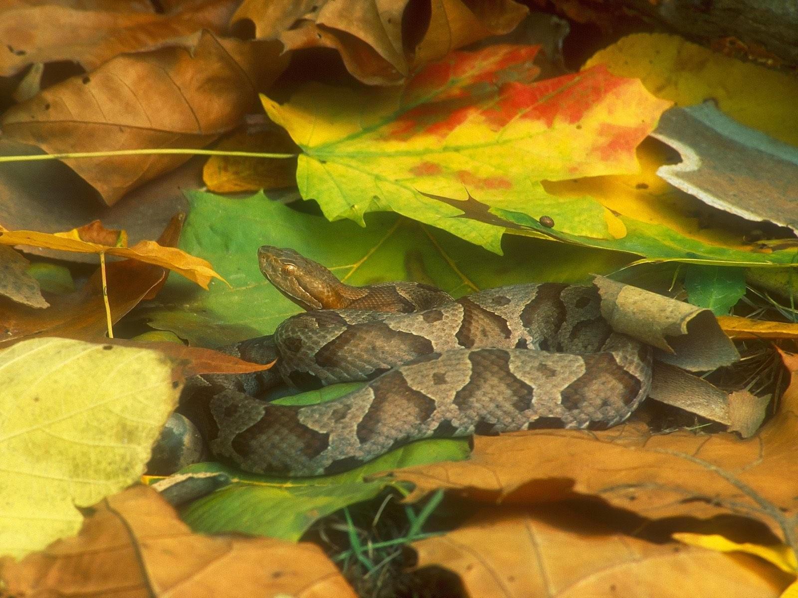 Змия в осенних листьях