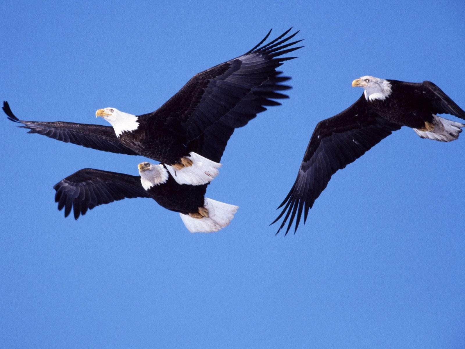 Полет трех орланов белоголовых