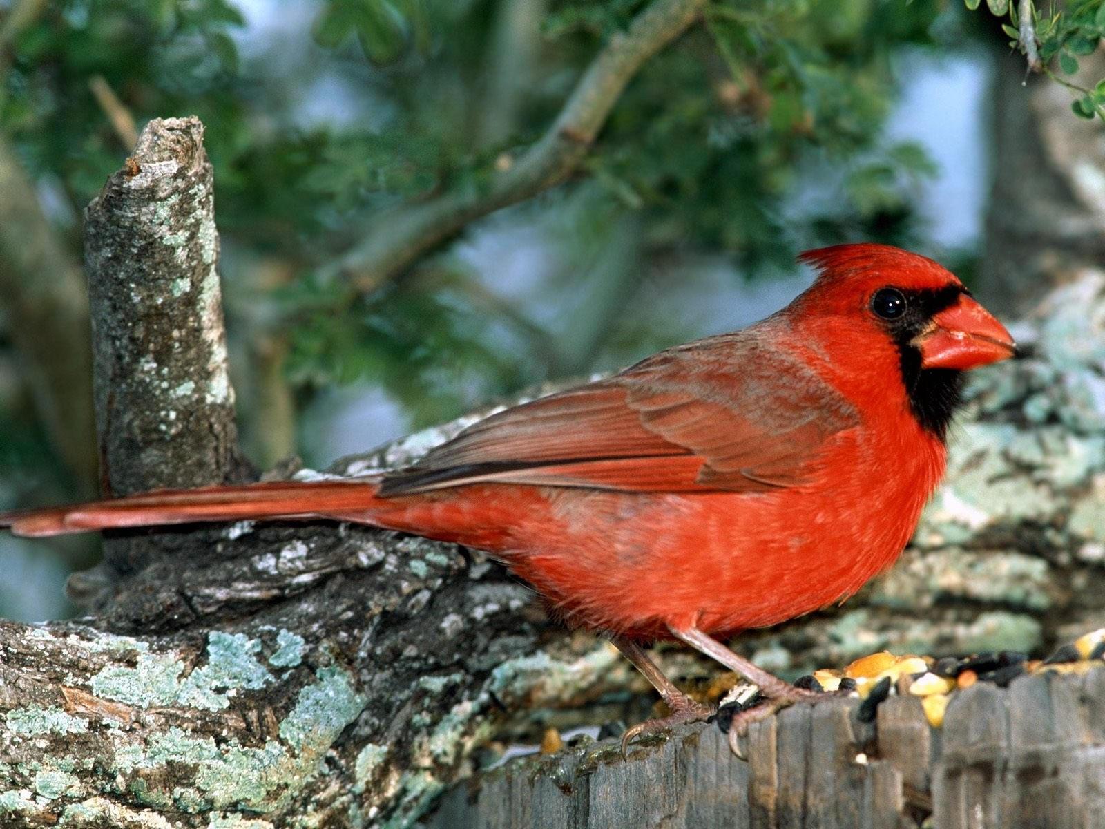 Птичка с красной окраской на дереве