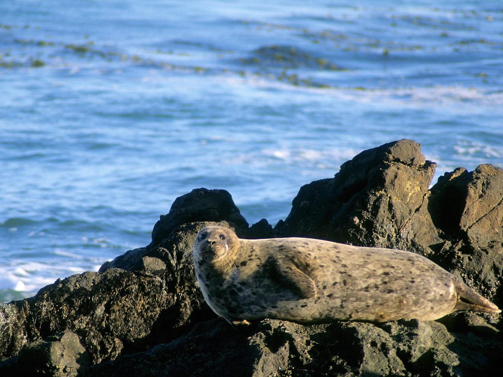 Большой тюлень на камнях