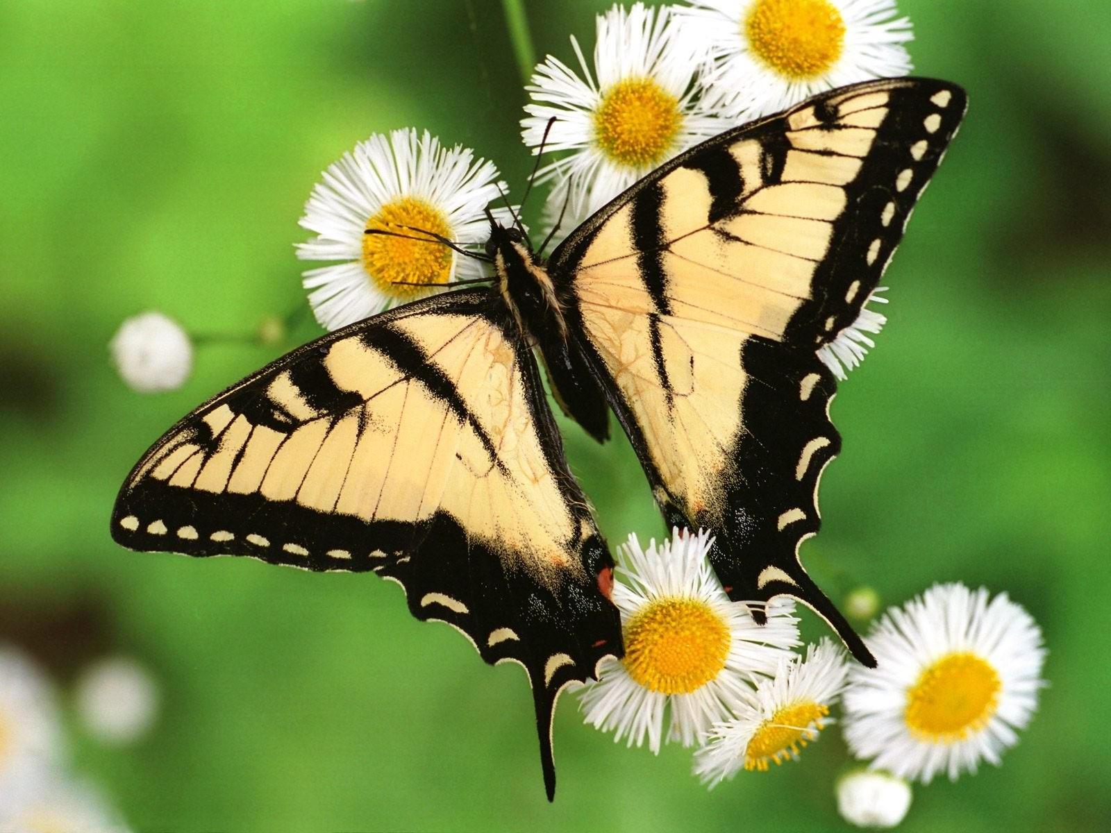 Бабочка на ромашках