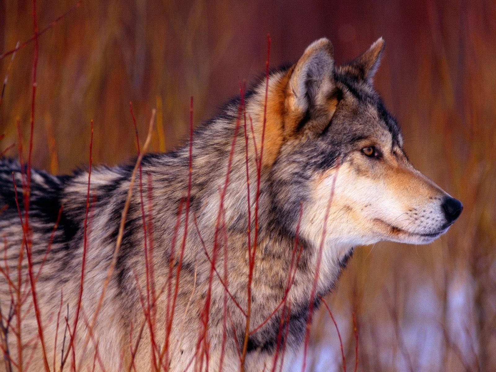 Наблюдающий волк