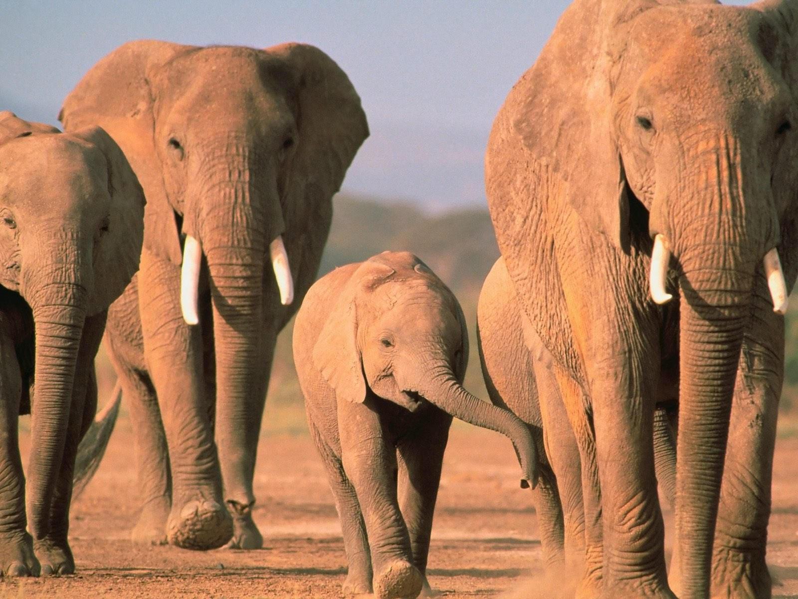 Идет стадо слонов