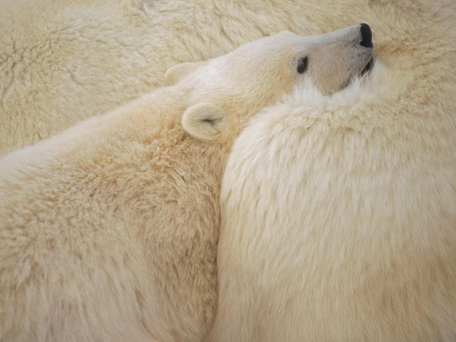 Малыш и мама белого медведя