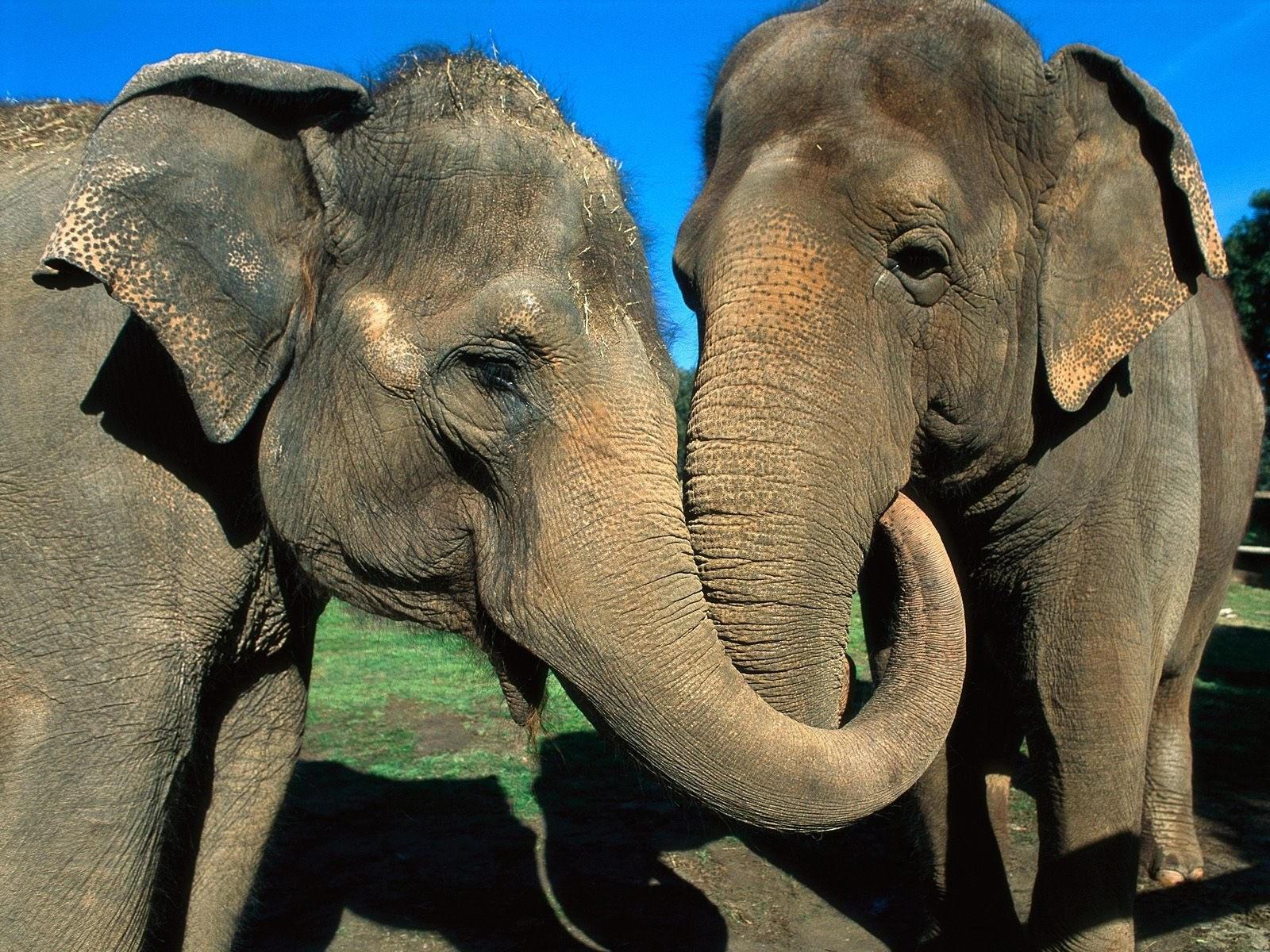 Два обнявшихся  хоботами слона