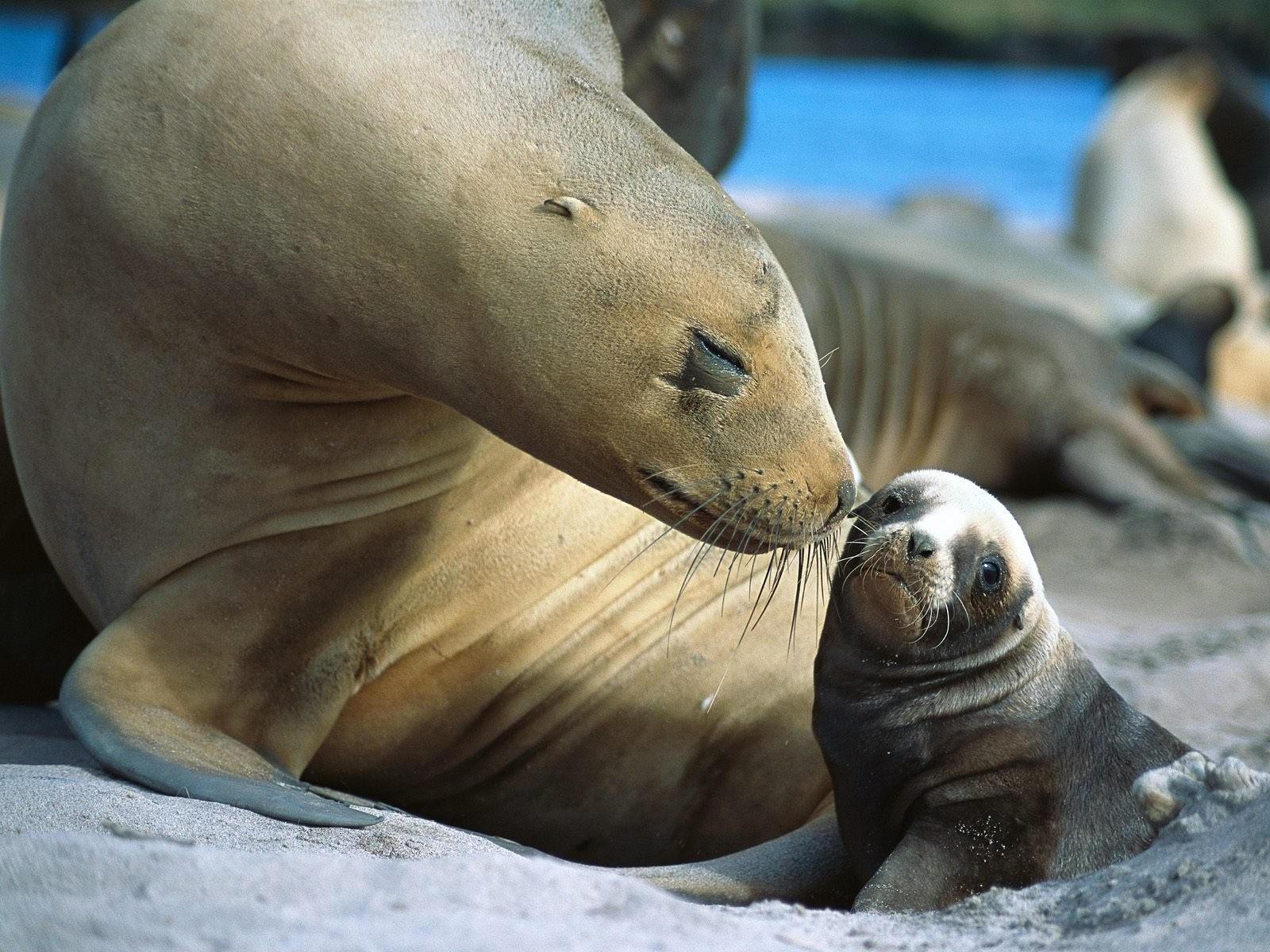 Морской котик с малышом