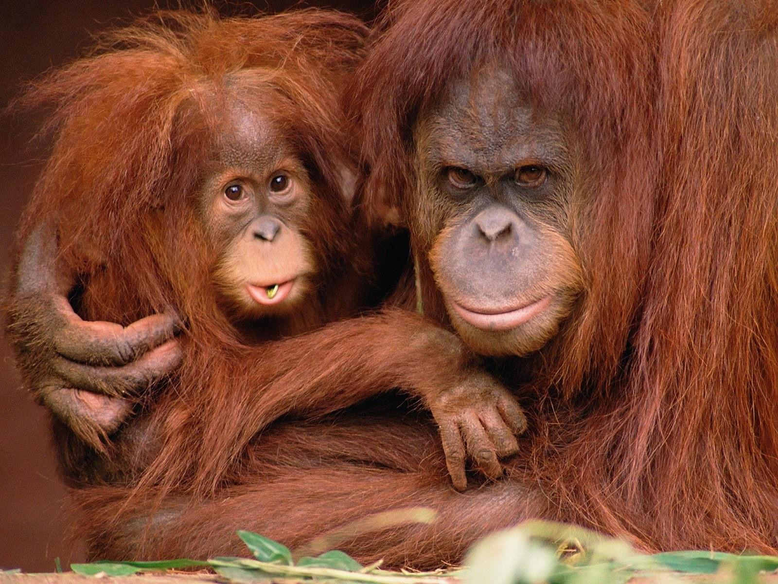 Коричневая обезьяна с малышом