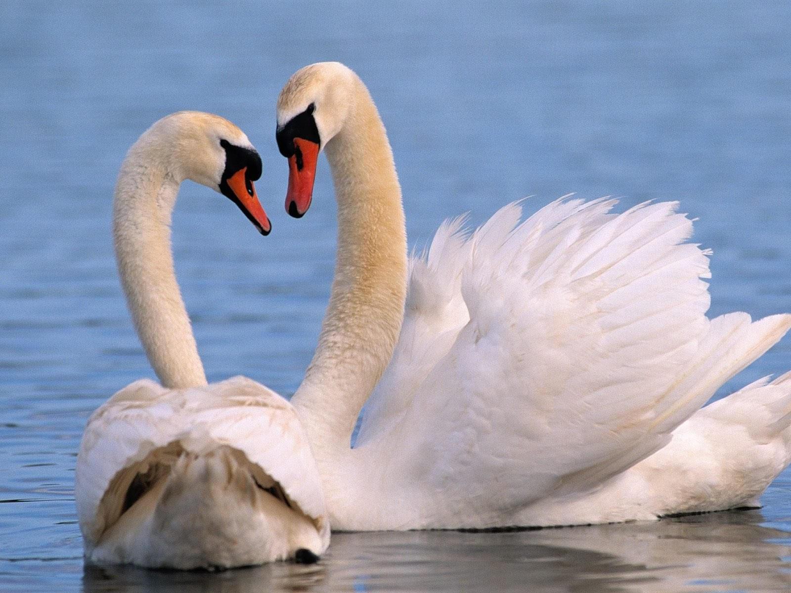 Пара белых лебедей на воде