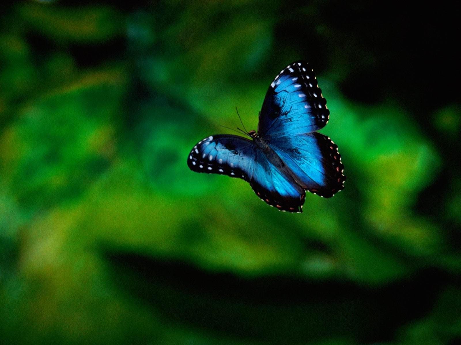 Черно-голубая бабочка в полете