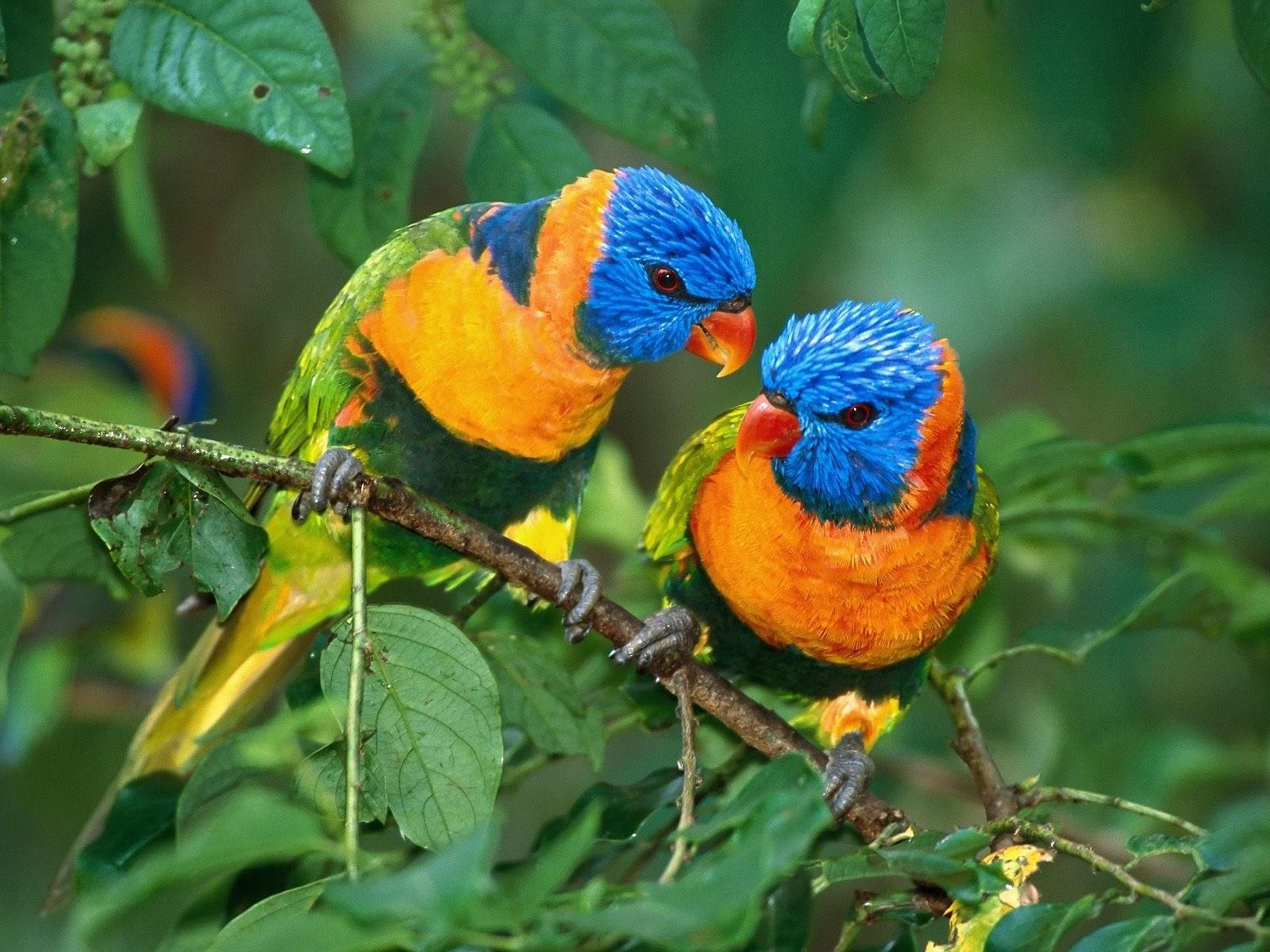 Две разноцветных птички