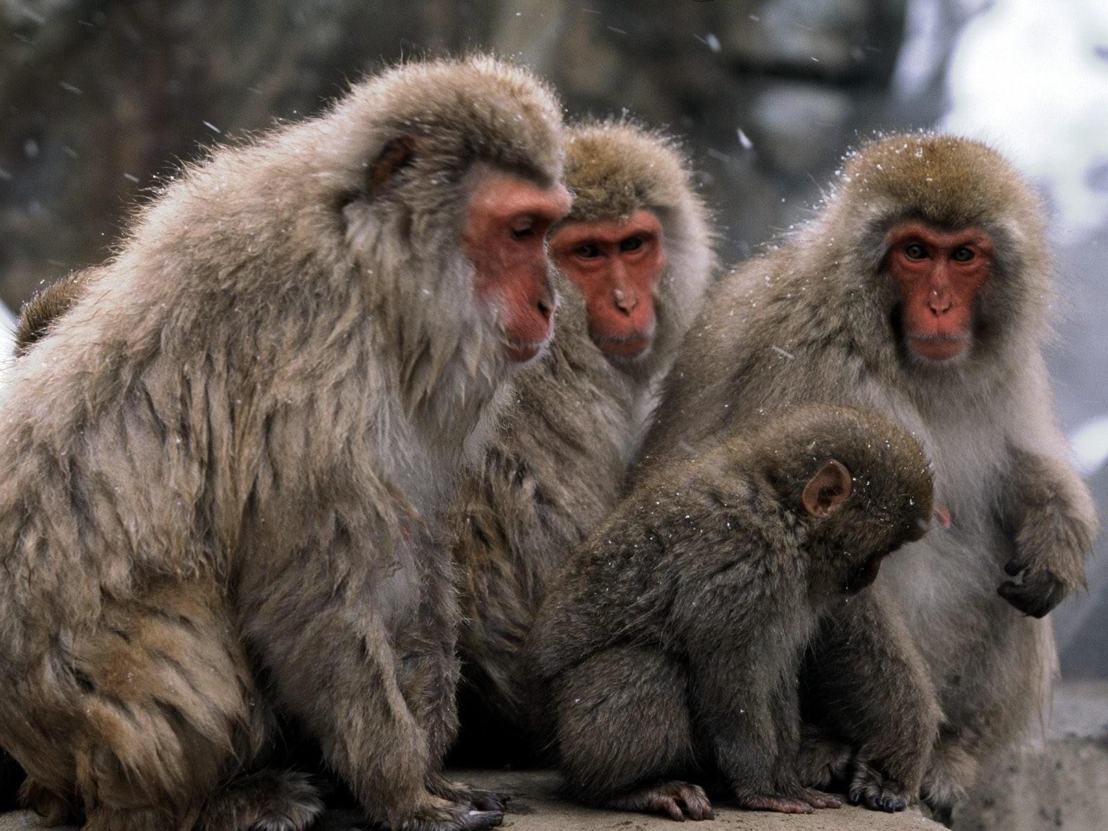 Стадо обезьян