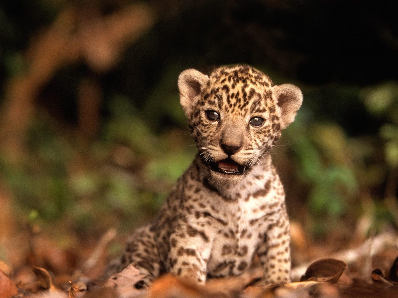 Котёнок ягуара