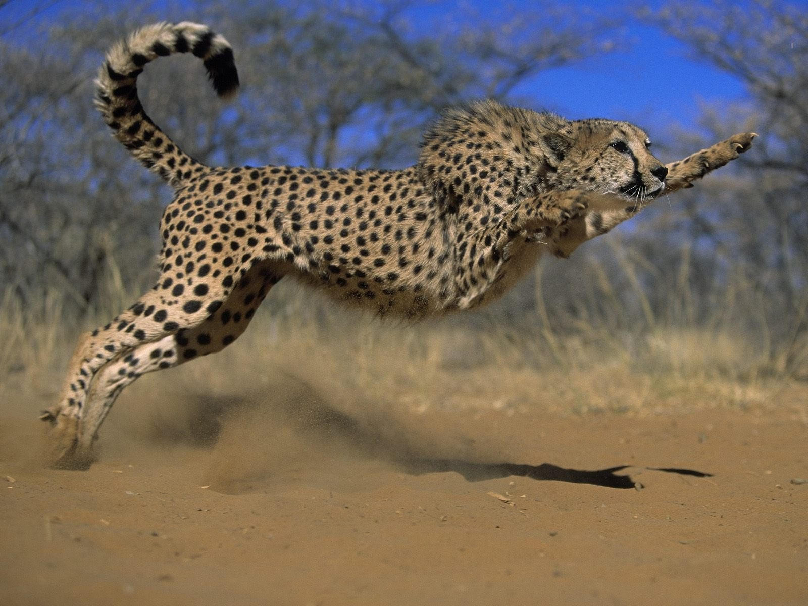 Леопард в пряжке