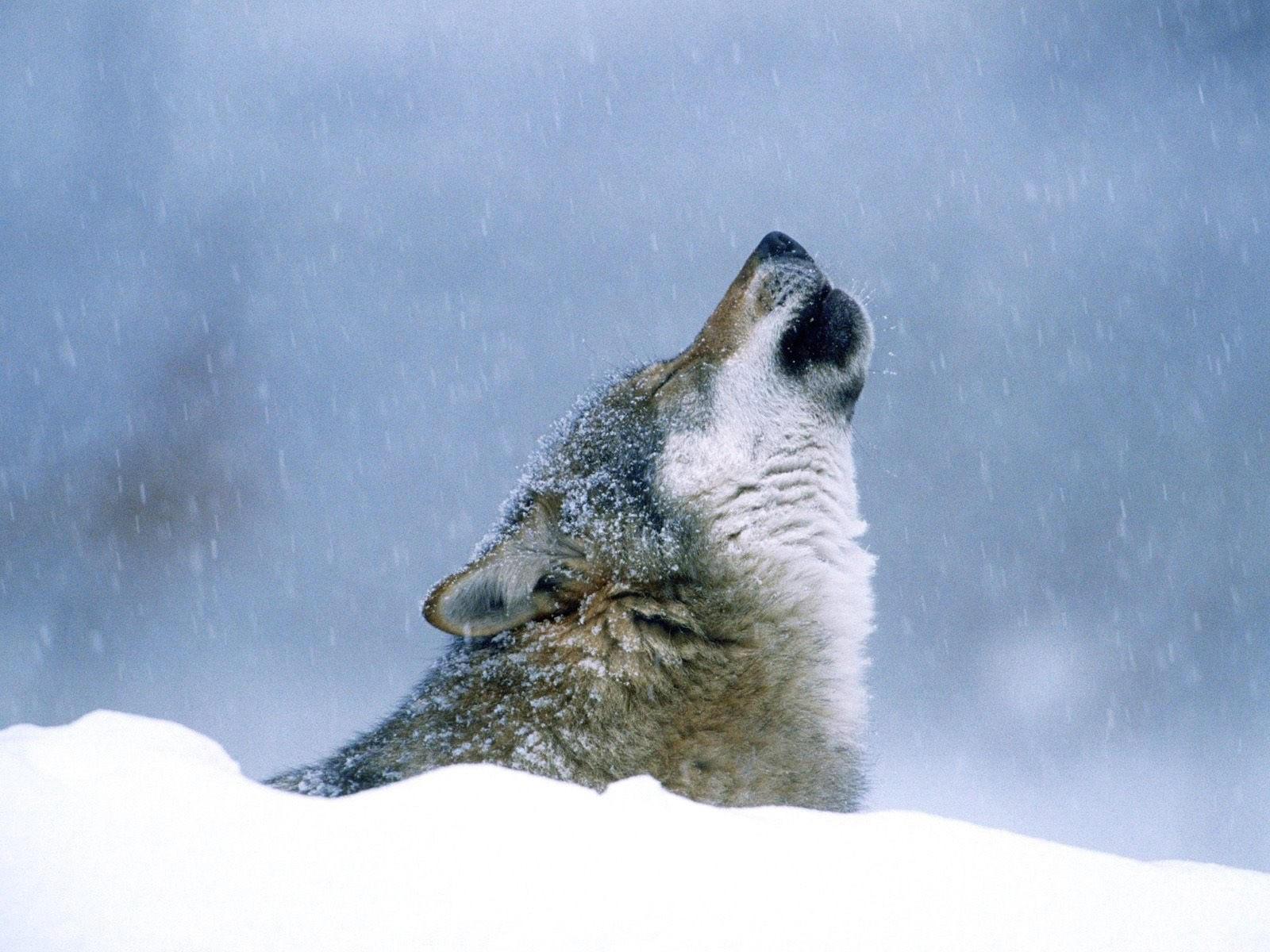 Вой волка в снежный день