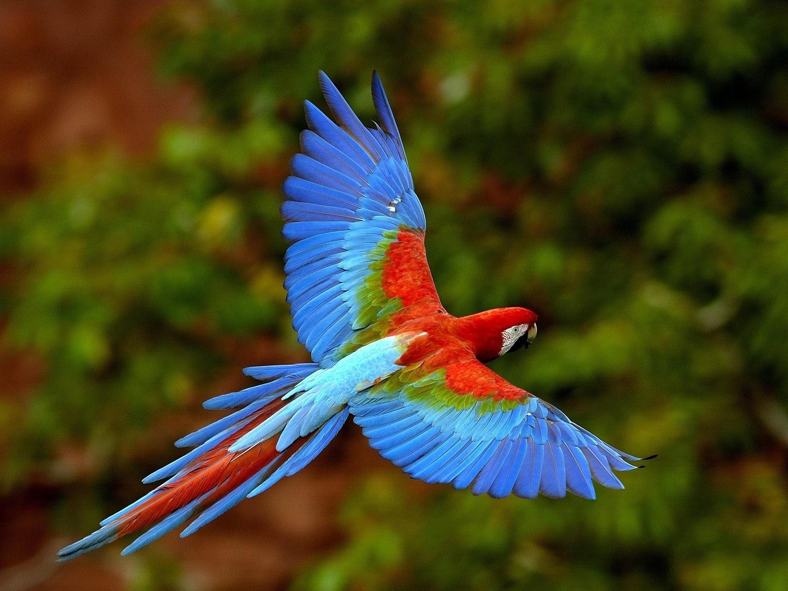 Попугай в полете