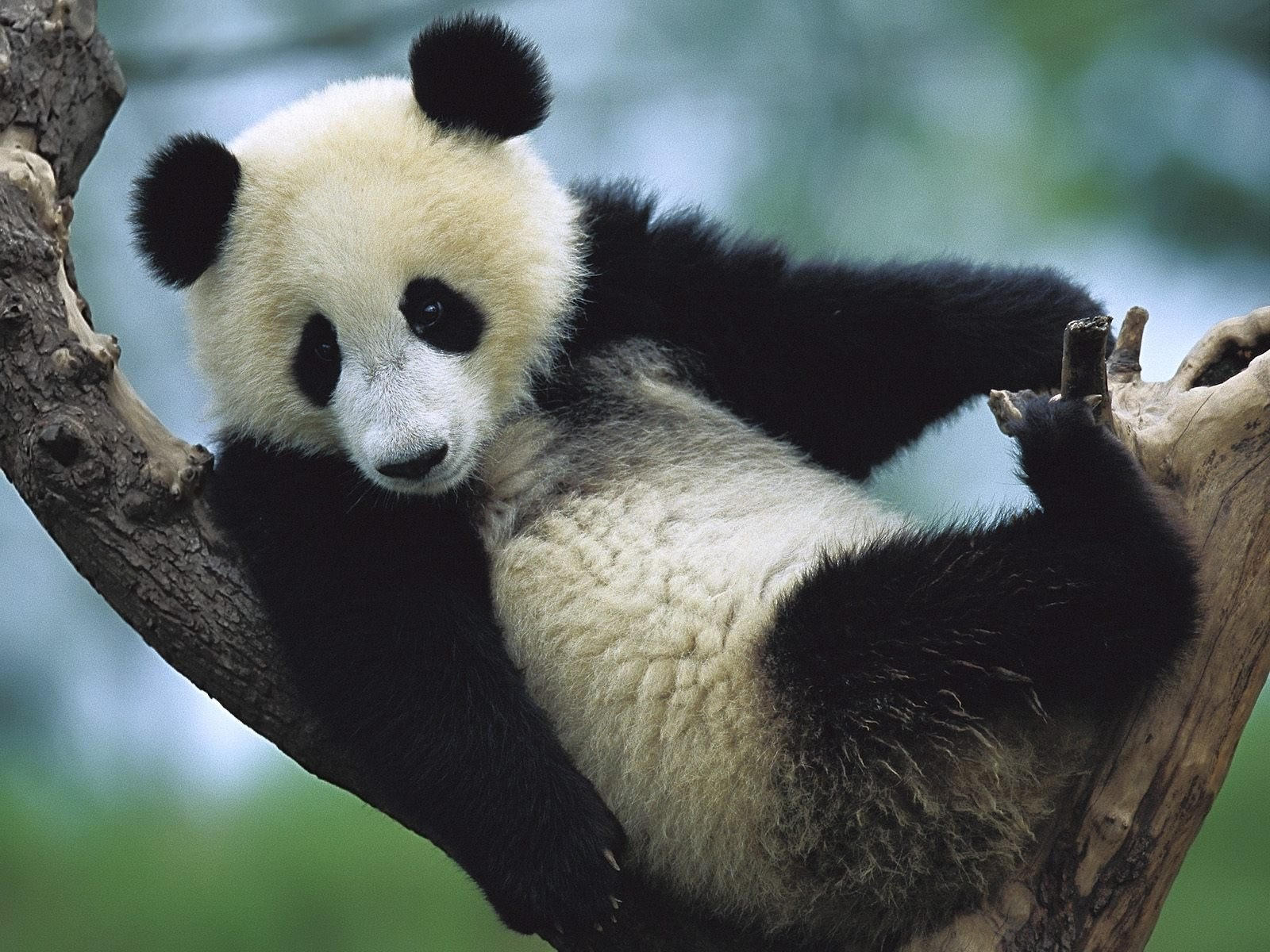 a background on the giant panda Background videos for ppt charts for powerpoint - the giant panda is a national treasure in china and is therefore protected by the law.