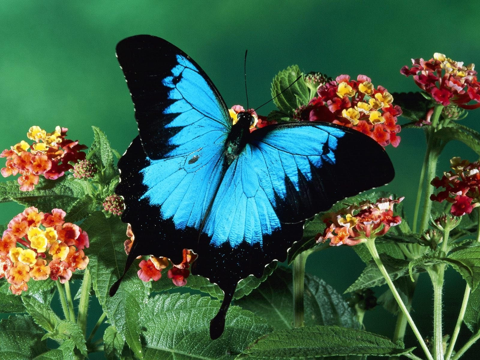 Бабочка черно-голубого окраса