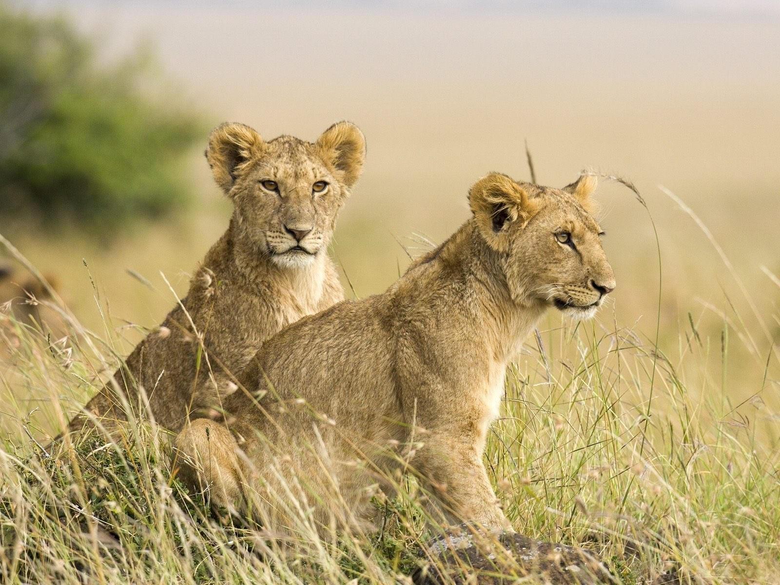 Два львёнка в траве