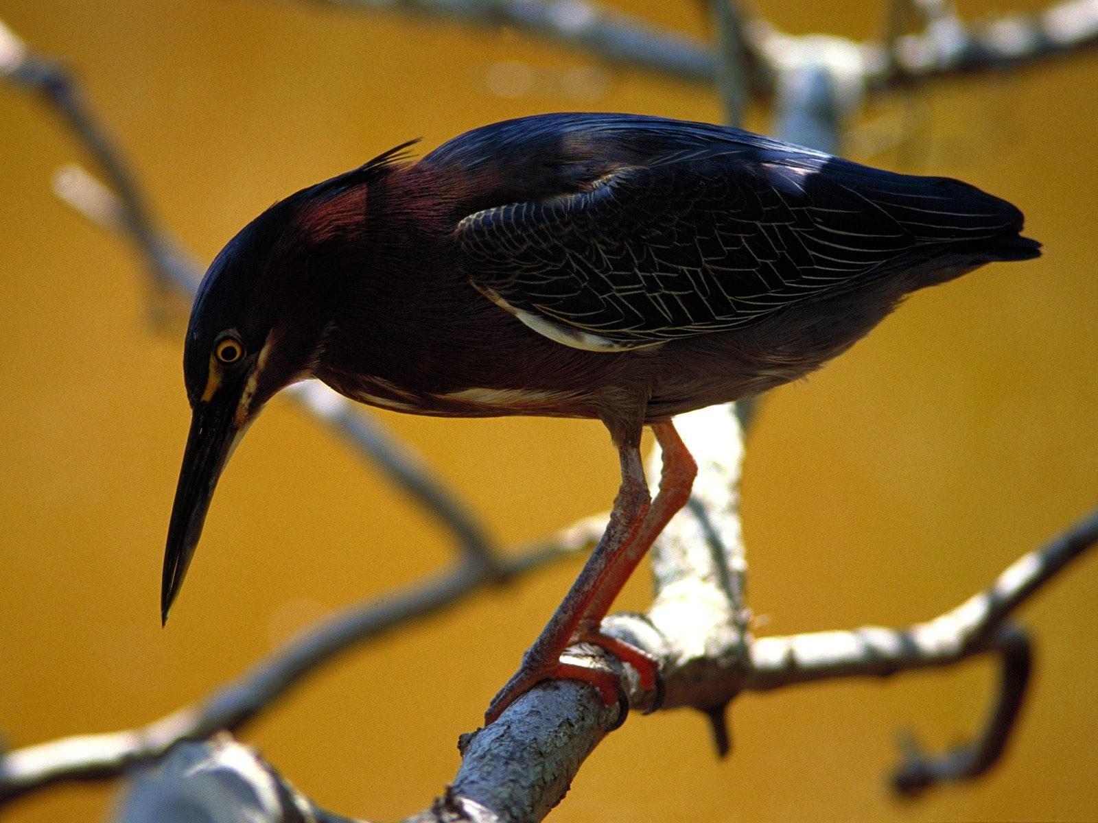 Черная птица на ветке