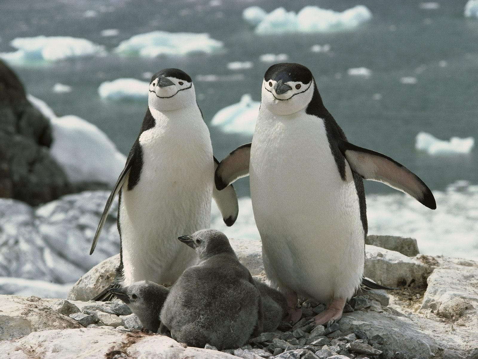 Пара пингвинов с малышами в гнезде