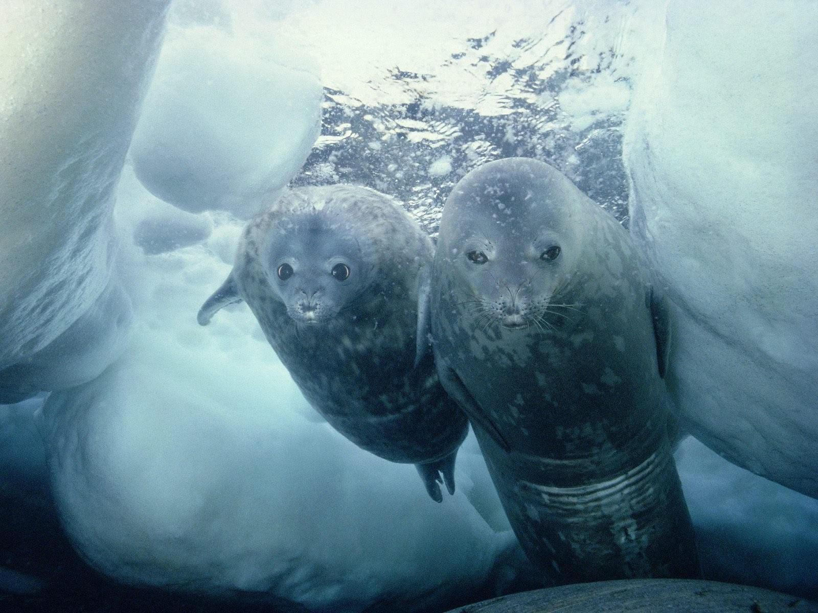Два морских котика в воде