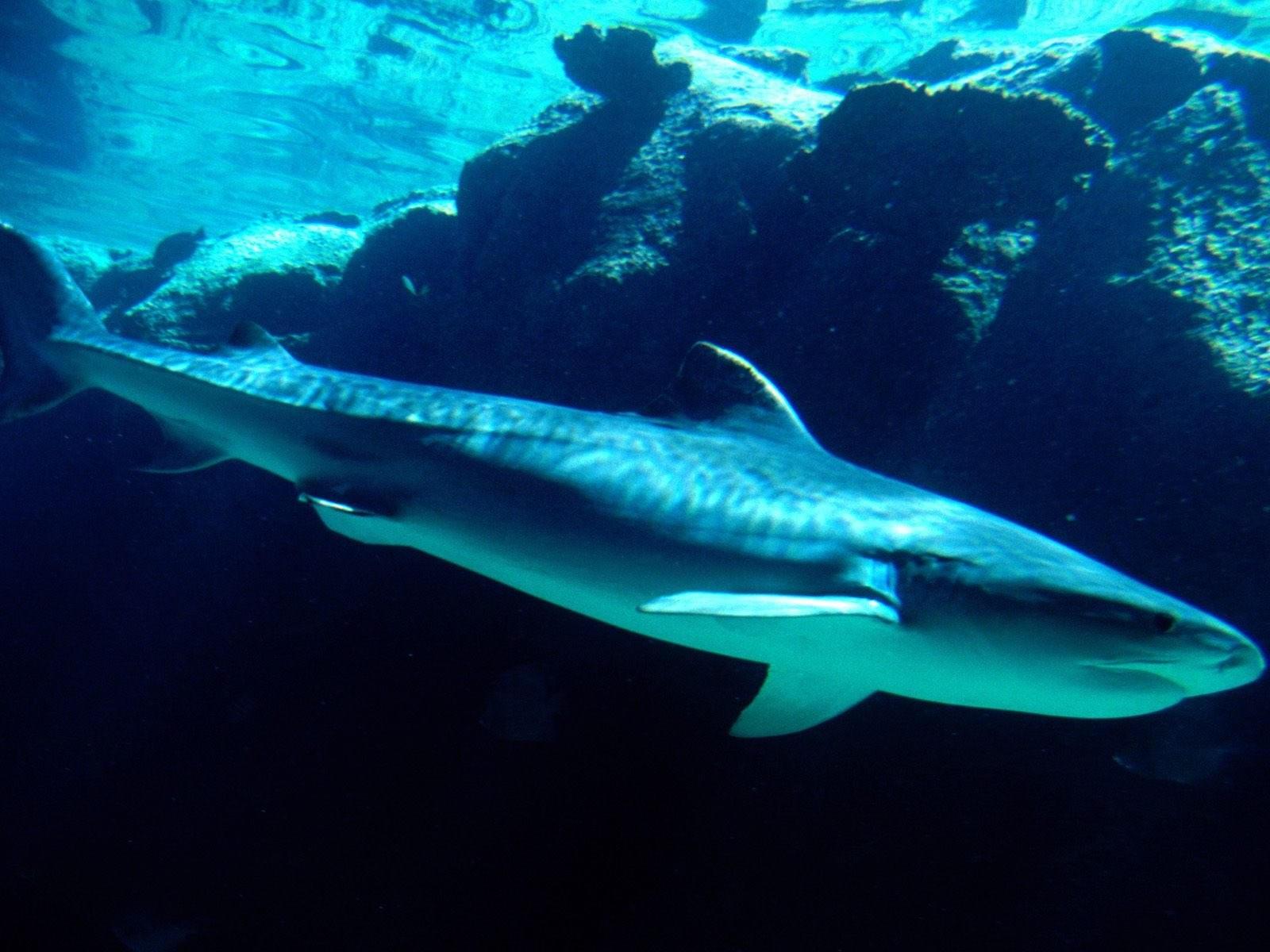 Акула в море