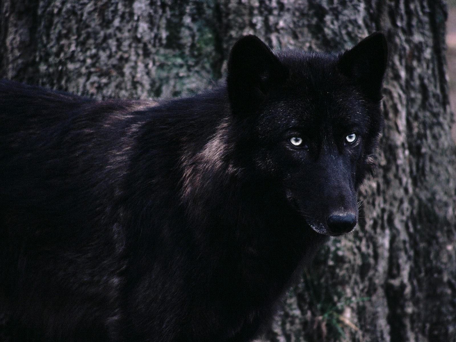 Черный волк возле дерева