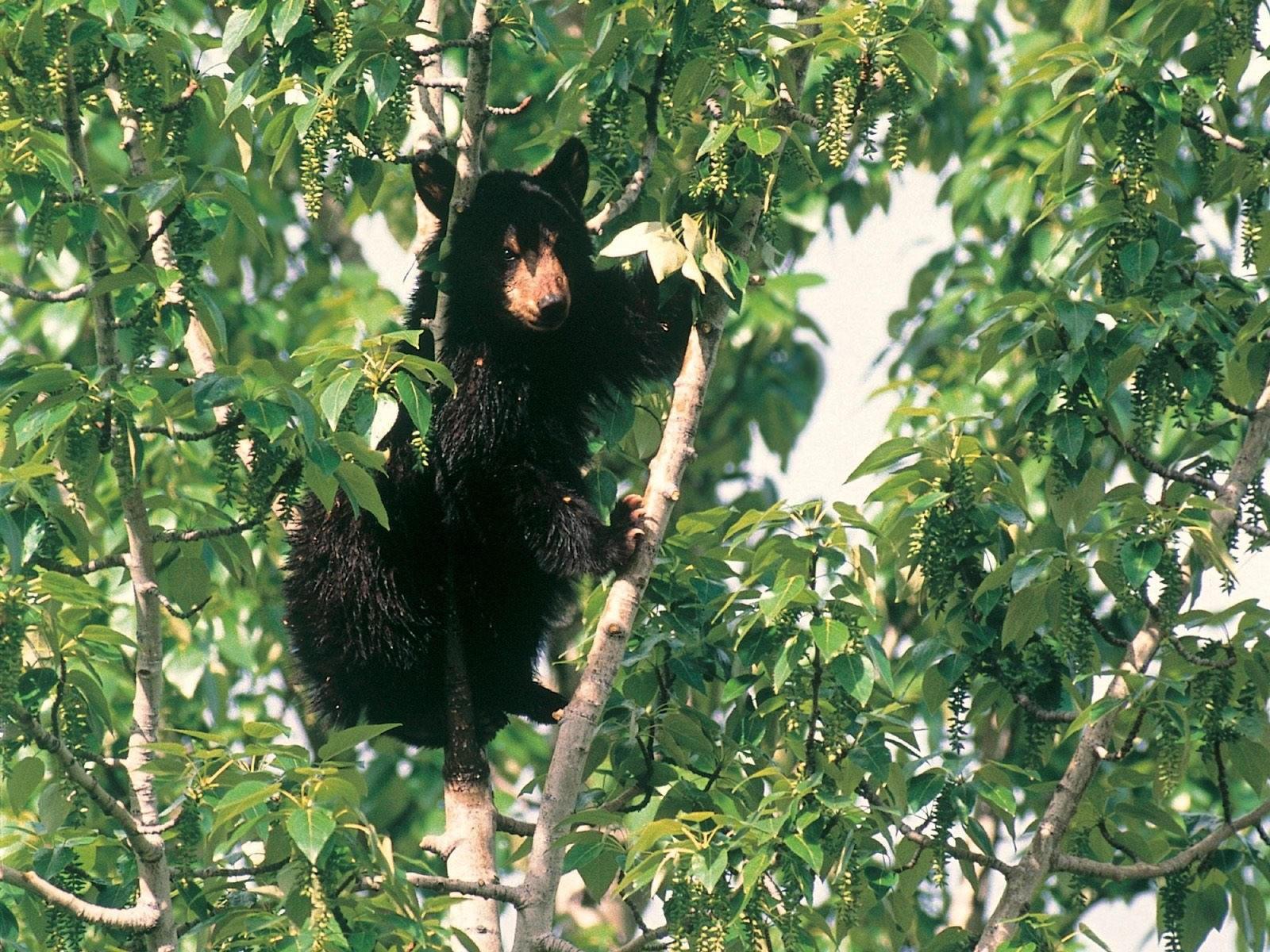 Черный медведь на  зелёном дереве