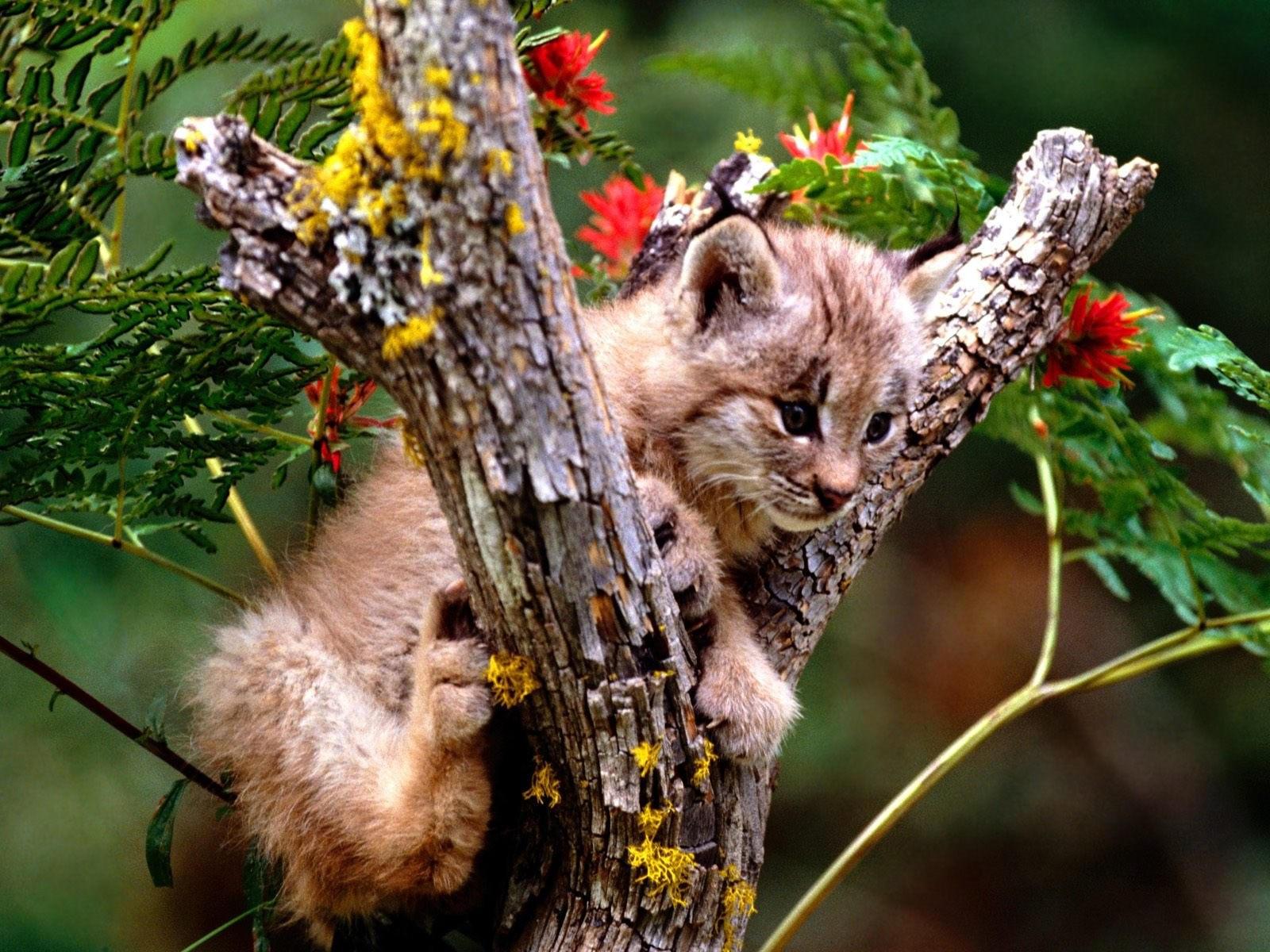 Маленькая рысь на дереве