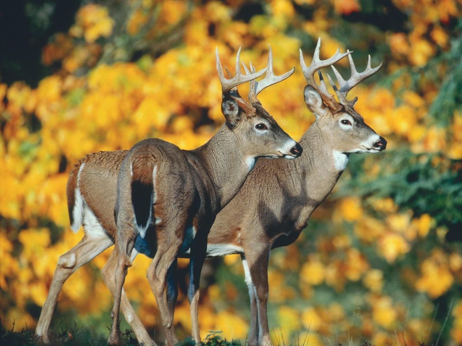 Два оленя в осеннем лесу
