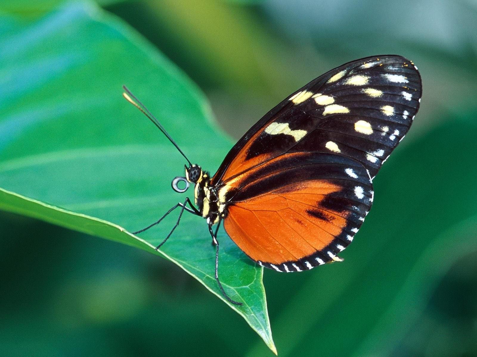 Черно-оранжевая бабочка на листе