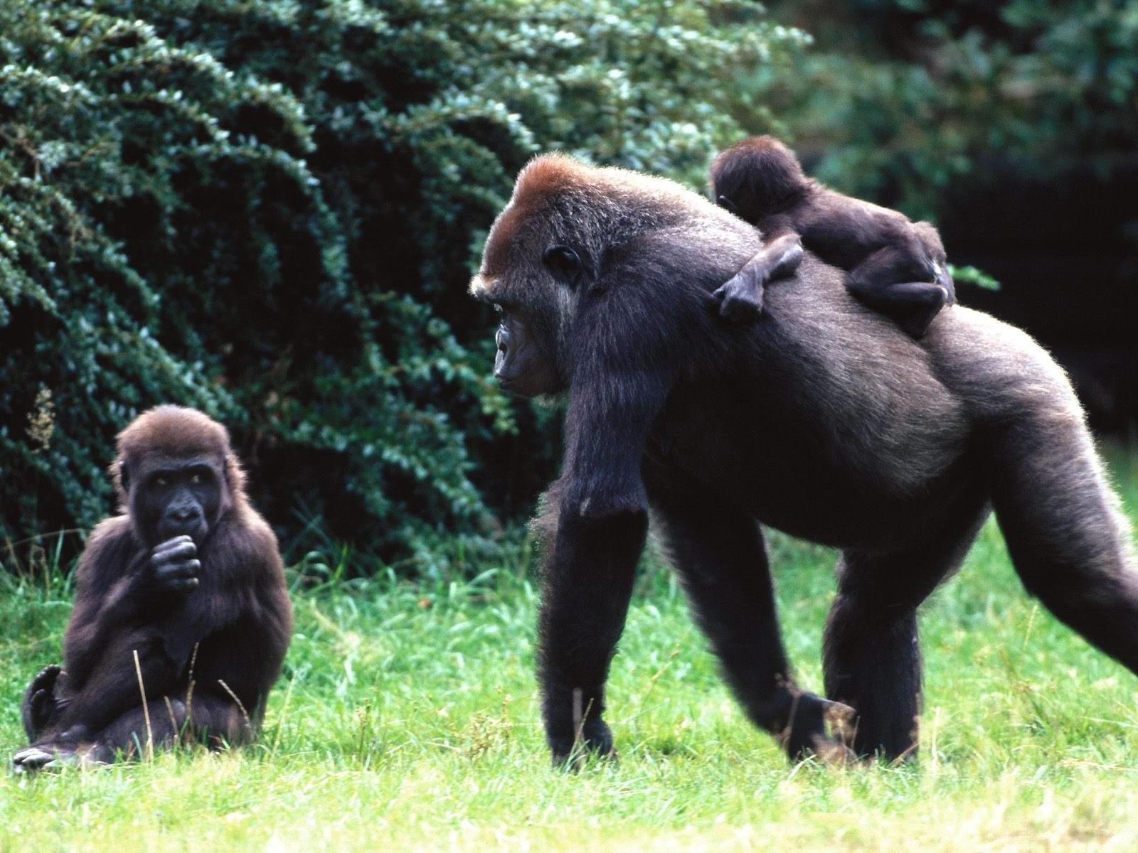 Семья обезьян в лесу